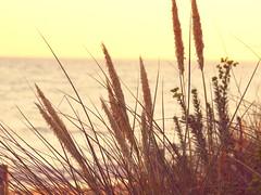 Graminés de dune (2) (Celenya2610) Tags: graminé grass herbe doré océan dune atlantique ilederé ile ré oyats oyat