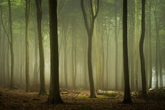 Friston Forest - May 29th (Edd Allen) Tags: fristonforest friston forest trees tree treescape mist fog nikond610 nikon d610 70200mm landscape country countryside atmosphere atmospheric sunrise uk eastsussex woods woodland serene bucolic melancholy foliage leaves spring summer