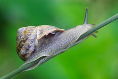 Snail (Wide_Lab) Tags: snail gastropoda mollusca gastropod mollusc animal nature natural land chiocciola lumaca mollusco natura naturale macro