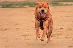 Ted on the beach (Tony_Brasier) Tags: dog ted beach sand running nikon d7200 70300mm fun fishing flickr cold goodboy golden