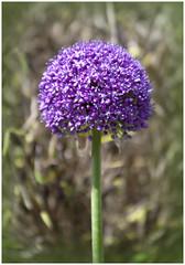 Allium flowering (Brian Legg) Tags: wpg oldleggey garden summer visitors