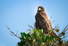 Galapagos Hawk (pbmultimedia5) Tags: buteo galapagoensis hawk fernandinho island galapagos national park ecuador wildlife bird nature pbmultimedia