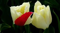 BANT, THE NETHERLANDS (pwitterholt) Tags: bant noordoostpolder flevoland tulip tulips tulpen tulipfields tulp tulpenvelden red rood lente spring white sony sonycybershot sonyhx400