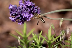 busy bee (Bea Antoni) Tags: sommer summer tamron canon makro macro natur nature blume flower insekt insect biene bee