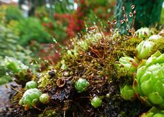 Au jardin. (caramoul25) Tags: jardin fraicheur plantesgrasses gouttelettes caramoul25