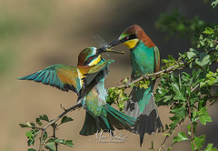 European bee-eater (fire111) Tags: european beeeater bijeneter birding wild wildlife birds colors prey insect france la brenne prooioverdracht