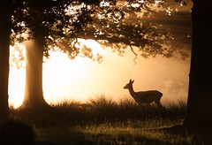 Looking into the morning light (D Llewellyn-Jones) Tags: raysiflight summer trees silhouette morning mist dawn deer