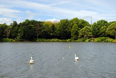 Just keep swimming (zawtowers) Tags: south norwood lake ground public park open space green sunday 11th june 2017 sunny warm dry sunshine afternoon walk amble stroll still calm water feature swimming swan cygnet practice heading across