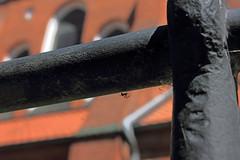 Spinne (Rüdiger Stehn) Tags: 2000er 2000s europa mitteleuropa deutschland germany norddeutschland schleswigholstein citykirche bibelgarten garten pflanze bibelgartenstansgarkirchekiel kielblücherplatz canoneos550d spinnen spinnentier tier 2017 spinne araneidae häutungstiere ecdysozoa gliederfüser kieferklauenträger chelicerata araneomorphae rüdigerstehn arthropoda