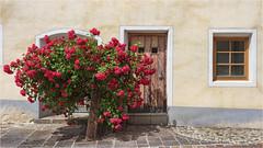 Rosenstock (Robbi Metz) Tags: südtirol altoadige teis rosenstock rose blumen flower colors canoneos