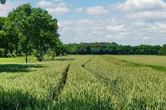 Fahrt durchs Getreidefeld - Ride through the grain field (antje whv) Tags: getreide grain baum tree spuren tracks wolken clouds norddeutschland northgermany