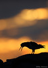 Oystercatcher (Mike Mckenzie8) Tags: haematopus ostralegus iceland wild wildlife bird coast silhouette sunrise dawn colours