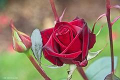 Red Rose (JSB PHOTOGRAPHS) Tags: jsb3875 redrose bokeh bokehlicious flowers owenmemorialrosegarden eugeneoregon owenrosegarden nikon d600 28300mm fx fullframe