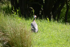 Looking (quintinsmith_ip) Tags: beckhole yorkshire green theafricanhelmetedguineafowl african helmeted guineafowl