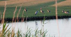Birds (cryothic) Tags: natuur nature reiger gans ganzen oostvaardersplassen