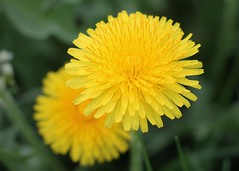 Double Dandelion Blossoms (rachel.odonnell_3) Tags: flower yellow green stem grass spring summer blossom dandelion weed