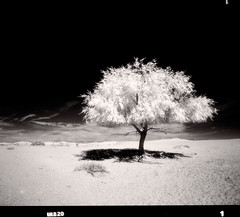 Isolated (tsiklonaut) Tags: pentax 67 6x7 film analog analogue analogica analoog 120 roll medium format mf keskformaat efke ir820 infrared infra ir black white negro y blanco mustvalge mv landscape maastik tree puu kõrb desert mongolia mongolian shadow mono monochrome travel discover experience mongol mongoolia gobi deserted lonely lone isolated drum scan drumscan scanner pmt photomultipliertube