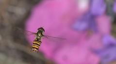 Marmalade Hoverfly     (Episyrphus balteatus)) (nick.linda) Tags: sigmaringflash marmaladehoverfly episyrphusbalteatus hoverflies campanula insectsinflight flowers gardens insects canon600deos sigma105mmmacro