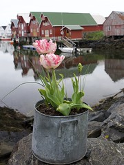 pot of colour (silverwine) Tags: tulips norway colour color pot reflection