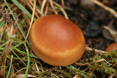Fairy Ring Mushroom (Marasmius oreades) (John Balcombe) Tags: shrewsbury shropshire fungus explored