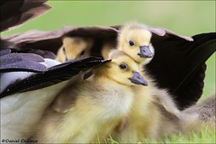 Canada Goslings Being Adorable (Daniel Cadieux) Tags: goose geese canadagoose goslings siblings adorable cute affection friendship babies fluffy waterfowl ottawa spring lake wetlands