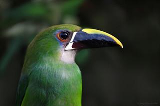 Aulacorhynchus prasinus