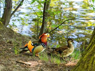 Happy Duck Couple