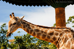 Giraffe (cecilia_anaa) Tags: animal wild wildlife girafa giraffe selvagem leaves sky clouds