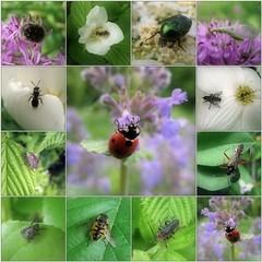 (Tölgyesi Kata) Tags: insect rovar
