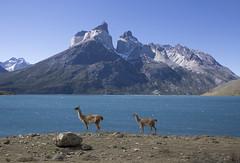 Chile (richard.mcmanus.) Tags: chile torresdelpaine guanaco mountains landscape loscuernos animals wildlife