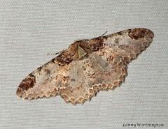 Amraica recursaria (Walker,1860) Geometridae Ennominae (LennyWorthington) Tags: amraicarecursariawalker 1860