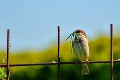 Jack The Sparrow (Roberto Braam) Tags: bird vogel nature wildlife natuur zangvogel huismus passeroidea animalia dier sparrow wild outdoor songbird singingbird