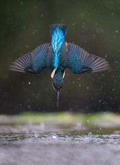 Kingfisher (Mr F1) Tags: kingfisher alcedoathis johnfanning wild nature outdoor free diving electricblue colour unique uk scotland