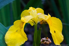 Iris pseudacorus (Thanks for +280.000 views) Tags: iris pseudacorus lliri lirio flag lever flor flower tamron macro