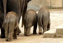 bye for some days (BrigitteE1) Tags: byeforsomedays erlebniszoohannover asiatischeelefanten elefanten asianelephants elephants elefant elephant zoo elephasmaximus specanimal