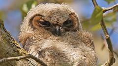 Great Horned Owlet (photosauraus rex) Tags: bird owlet greathornedowlet youngowl greathornedowl vancouver bc canada nonzoo nonbaited nonbirdshow photographedinthewild bubovirginianus