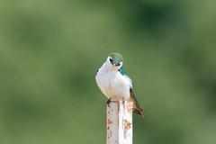 DSC_0253.jpg (ldjaffe) Tags: violetgreenswallow ucsantacruz greatmeadow