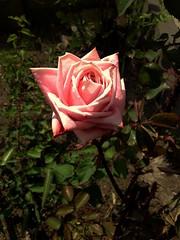 Rose flower, роза (Anna Gelashvili) Tags: цветок flower цвести цветокроза roseflower сад garden flowers роза rose цветочки ვარდი ვარდისფერივარდი ყვავილი leaf bright лист яркий растение