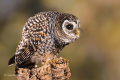 Chaco Owl D75_6000.jpg (Mobile Lynn) Tags: chacoowl birds owls nature captive bird fauna strigiformes strixchacoensis wildlife nocturnal ringwood england unitedkingdom gb coth specanimal ngc coth5 sunrays5 npc