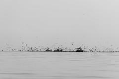 Birds and nothing else. (dvdcrst) Tags: sea blackandwhite black white perù visitperu monochrome monotone
