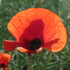 05-IMG_0157 (hemingwayfoto) Tags: blühen blüte blütenstempel blume flora gift heilpflanze kapsel klatschmohn medizin mohn mohnkapsel natur opiate opium pflanze rauschgift reif rot samen samenkapsel schwarz wild wildblume wildpflanze
