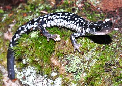 White Spotted Slimy - Plethodon cylindraceus (bolickscott) Tags: whitespotted white spotted slimy salamander plethodon cylindraceus