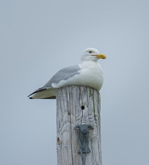 American Herring Gull (Larus smithsonianus) (ekroc101) Tags: birds americanherringgull larussmithsonianus manitoba hecla heclaprovincialpark