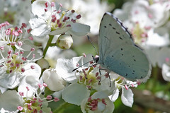 Holly Blue on Hawthorn (Roy Lowry) Tags: hawthorn hollyblue leasowe celastrinaargiolus