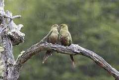Chile. (richard.mcmanus.) Tags: chile torresdelpaine australparakeets parakeet southamerica bird animal gettyimages mcmanus love parrots patagonia