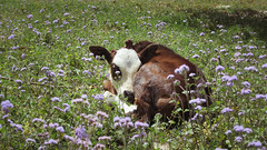 IMG_38444 (Manveer Jarosz) Tags: bharat chakki haryal haryalvillage hindustan india punjab wwoof worldwideopportunitiesonorganicfarms animal baby bull cow cute domesticated farm field flower grass laying organic resting rural sleeping village