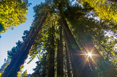Muir Woods (Skand Hurkat) Tags: redwoods california sunburst lensflare sun trees muirwoods forest millvalley unitedstates us