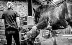 Hay Farm Heavy Horse Centre . (wayman2011) Tags: fujifilmxt10 lightroom wayman2011 bw mono rural horses clydesdales people farrier blacksmiths countryside farms northumberland heatherslaw uk