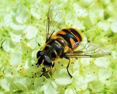 """Wasp Mimic"" (seanwalsh4) Tags: insects myathropaflorae 7dwf sundaysthemefauna seanwalsh fauna waspmimic hoverfly canon bristol nature pretty nice happy"