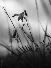 Monochrome spring (Petr Horak) Tags: vegetation bokeh olympus penf foliage monochrome dof nature flower blackandwhite normallens bw flowersplants weed novýknín středočeskýkraj czechia cze